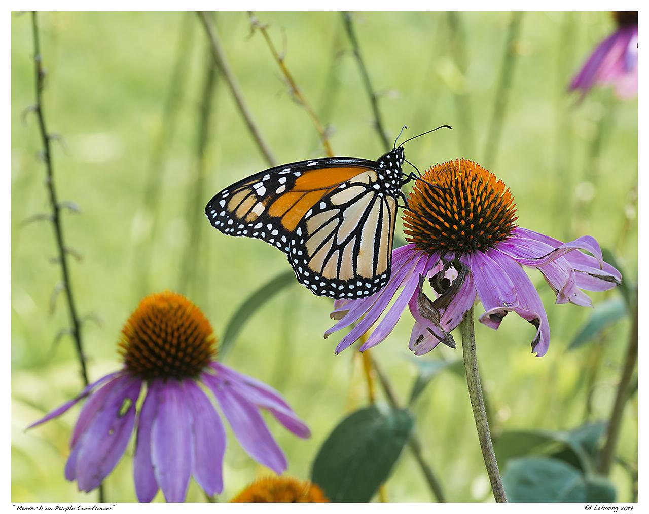 """""""Monarch on Purple Coneflower"""""""