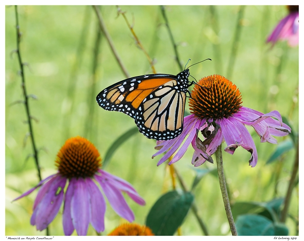 """Monarch on Purple Coneflower"""
