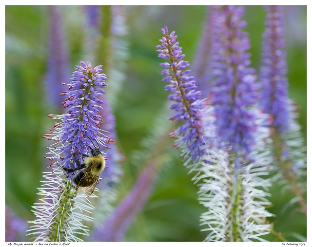 """My Purple World"" - Bee on Culver's Root"