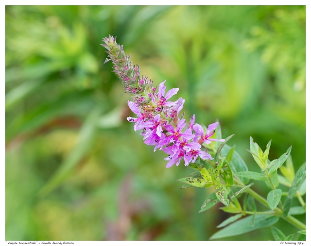 """Purple Loostrife"" - Sauble Beach, Ontario"