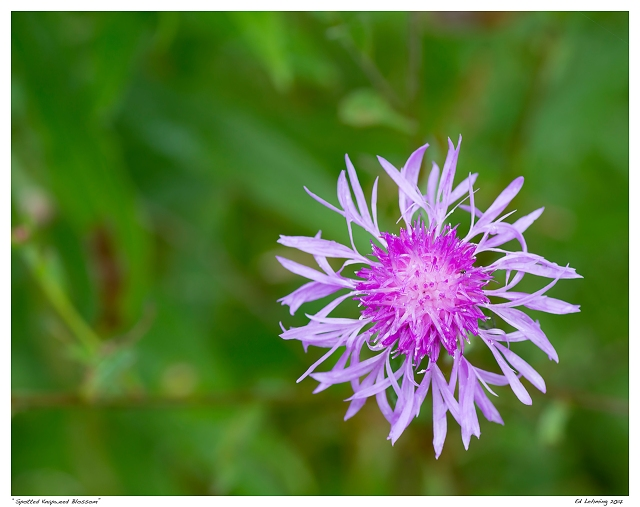 """""""Spotted Knapweed Blossom"""""""