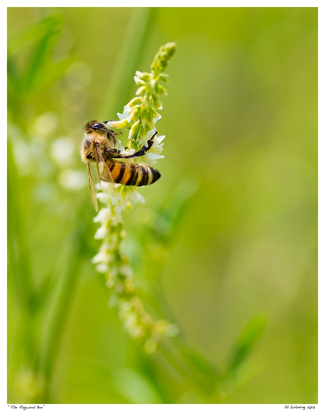 """The Ragweed Bee"""