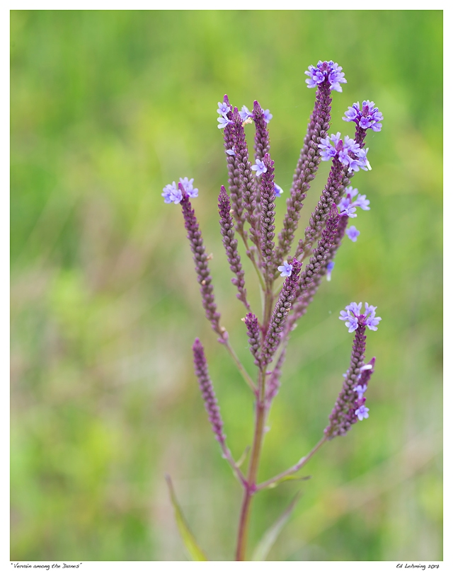 """Vervain among the Dunes"""