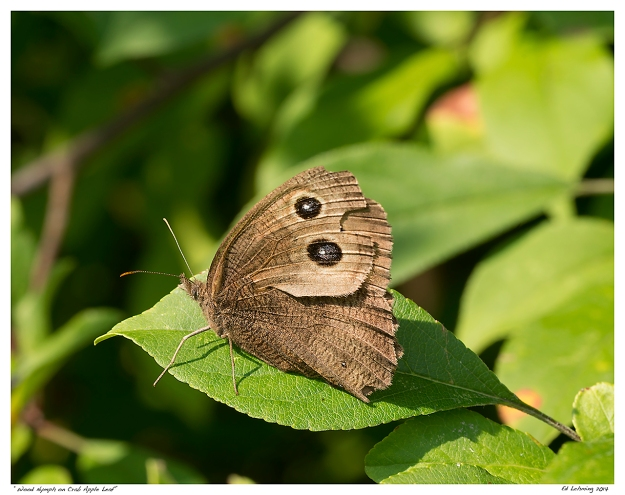 """Wood Nymph on Crab Apple Leaf"""