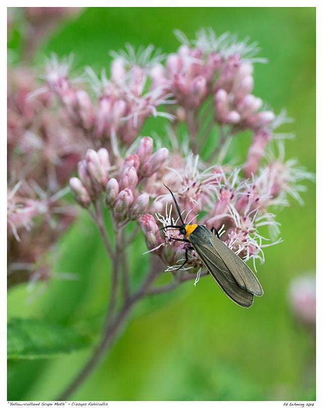 """Yellow-collared Scape Moth"" - Cisseps fulvicollis"