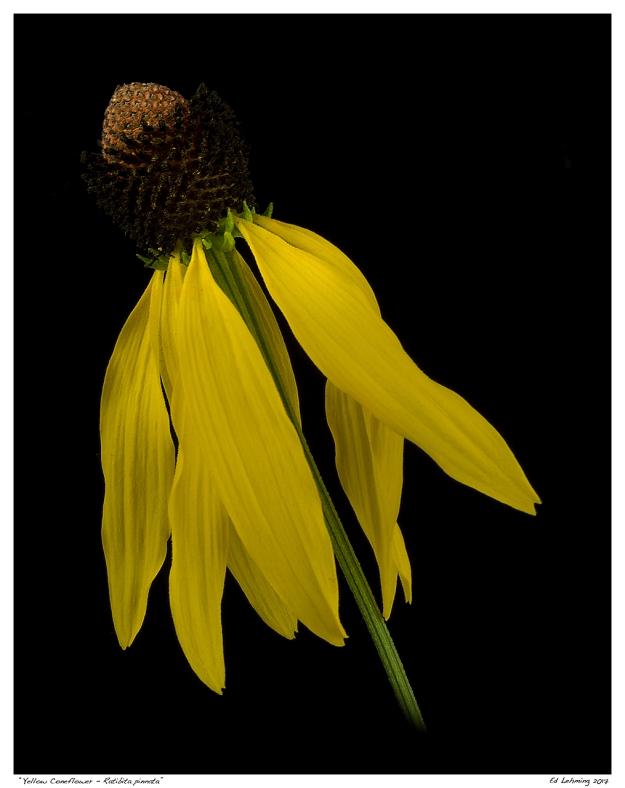 """""""Yellow Coneflower - Ratibita pinnata"""""""