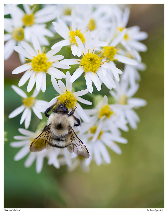 """""""Bee and Asters"""""""