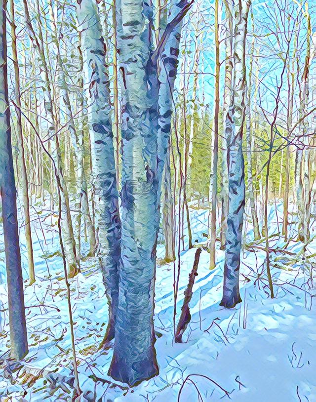 Blue Birches