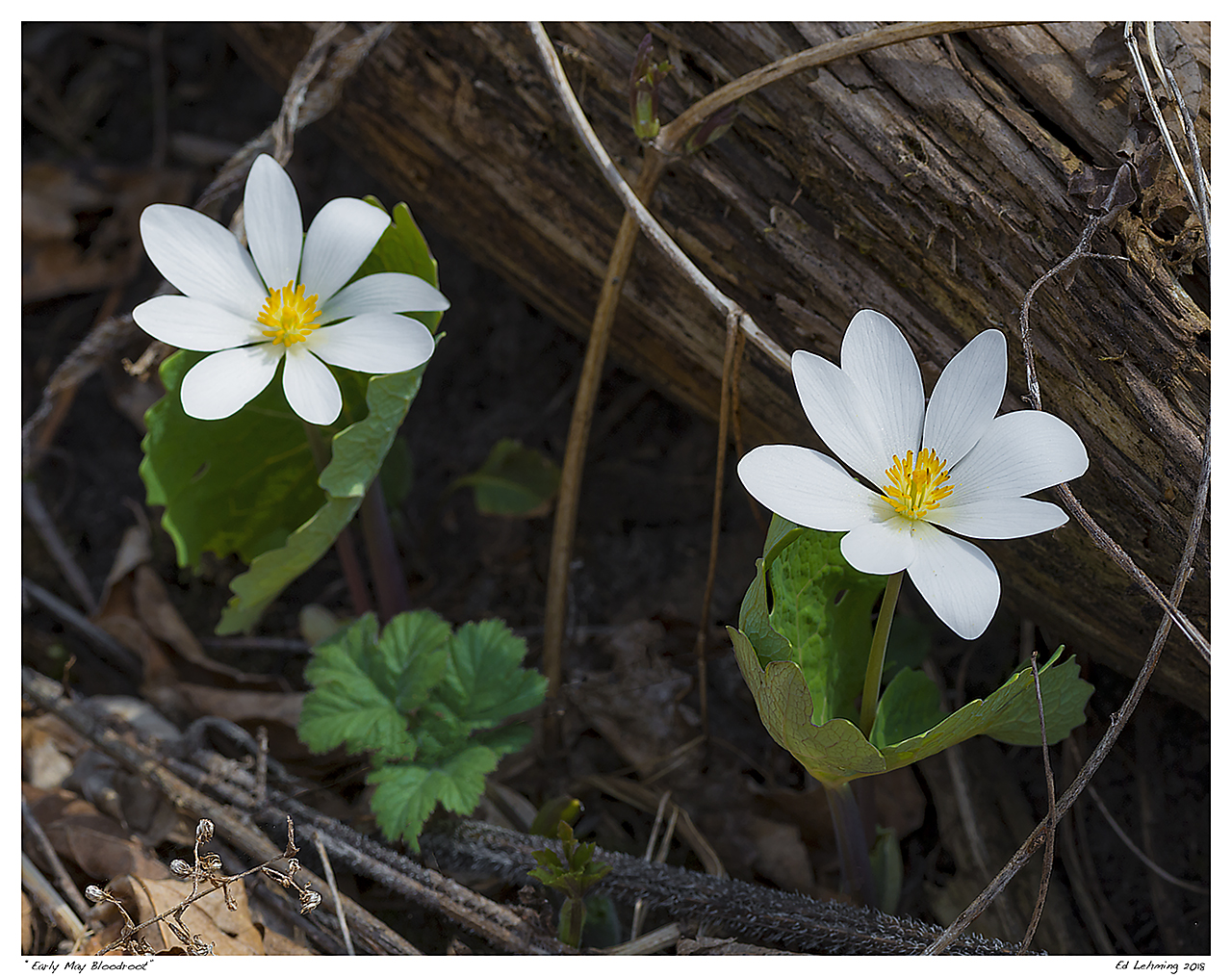 """Early May Bloodroot"""