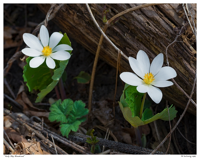 """""""Early May Bloodroot"""""""