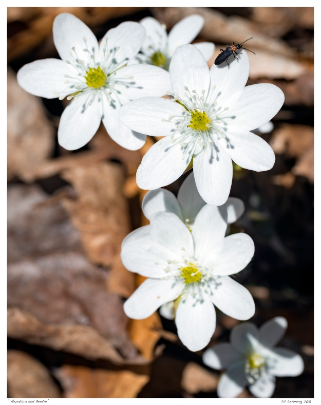 """Hepatica and Beetle"""