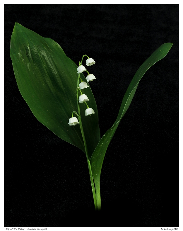 """Lily of the Valley - Convallaria majalis"""