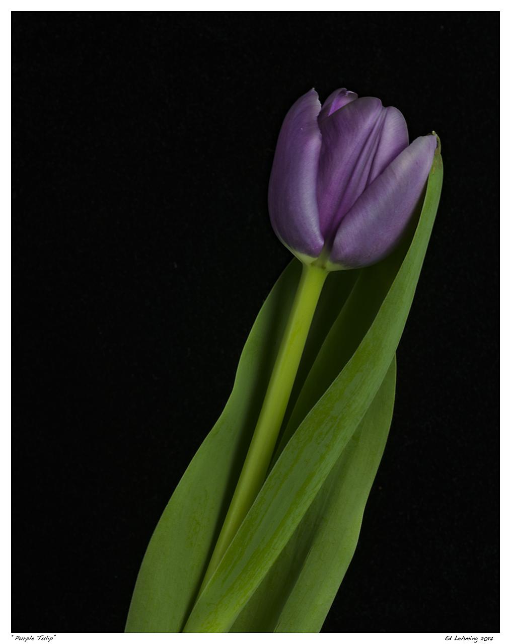 """Purple Tulip"""