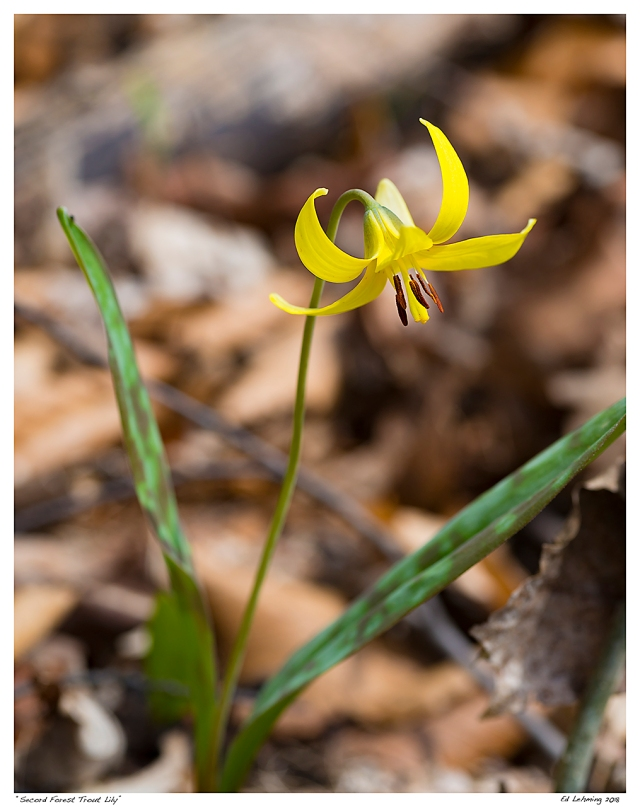 """Secord Forest Trout Lily"""