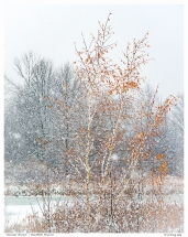 """November Birches"" - Stouffville Reservoir"