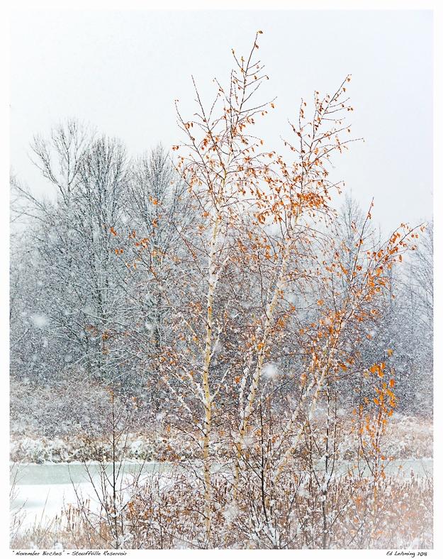 """November Birches"" - Stouffville Reservoir"