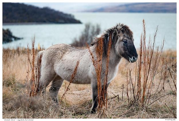 """""""Icelandic Horse"""" - Lagarfjót, East Iceland"""