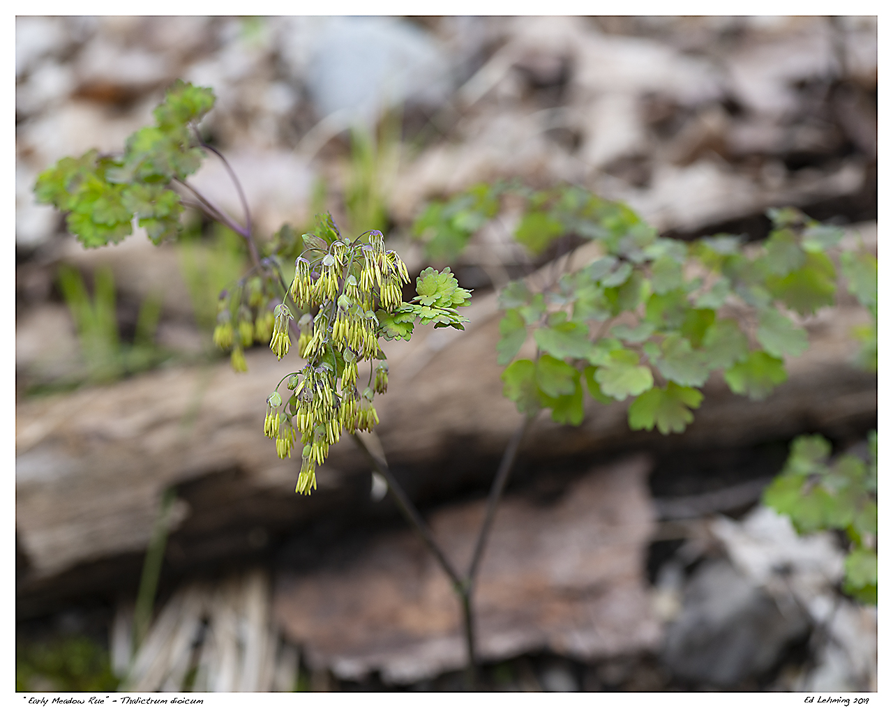 """Early Meadow Rue"" - Thalictrum dioicum"
