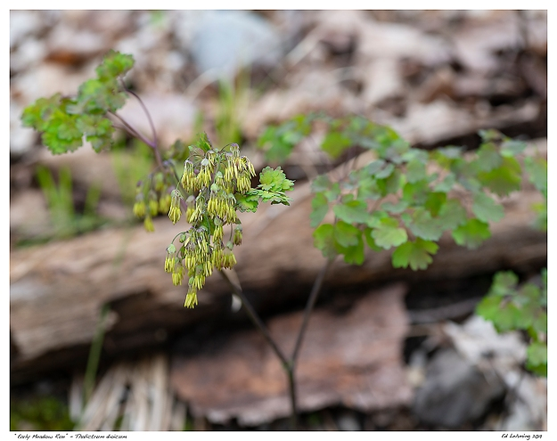 """""""Early Meadow Rue"""" - Thalictrum dioicum"""
