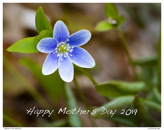 """""""Mothers Day Hepatica"""""""