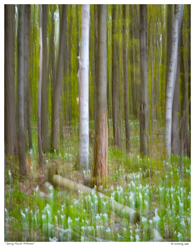 """""""Spring Forest Trilliums"""""""