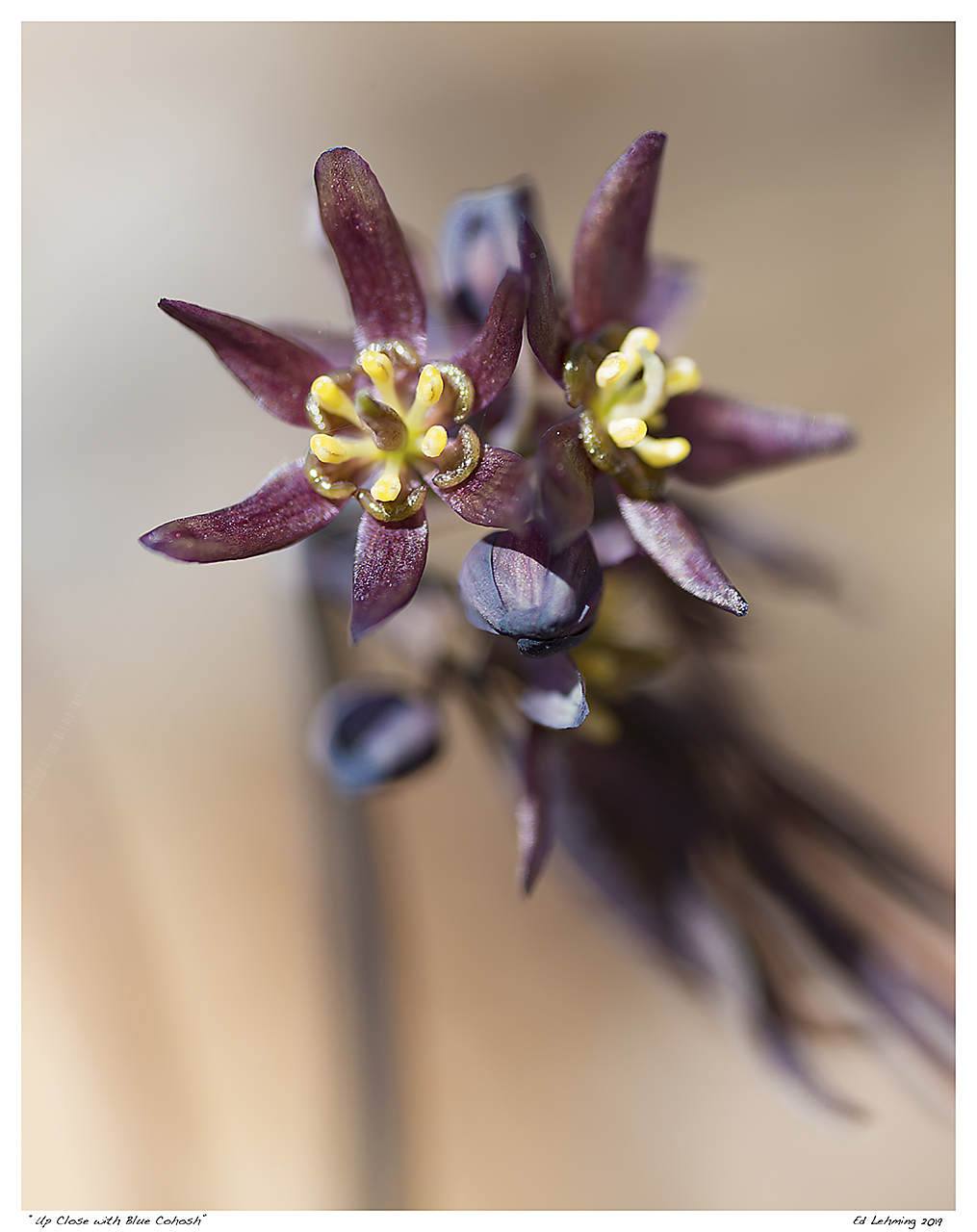 """Up Close with Blue Cohosh"""