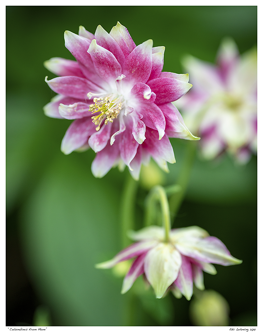 """Columbines from Mom"""