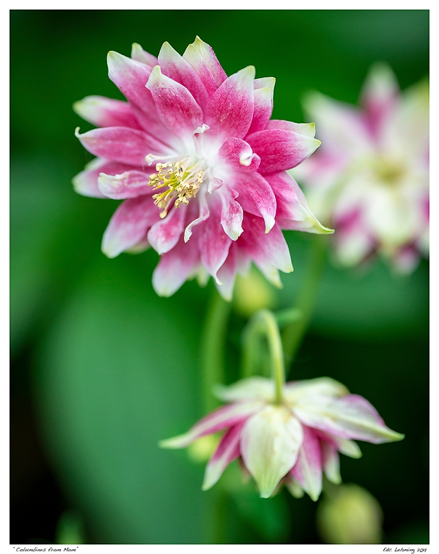 """""""Columbines from Mom"""""""