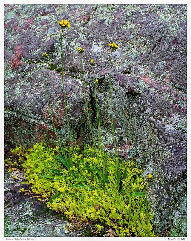 """Yellow Hawkweed Garden"""