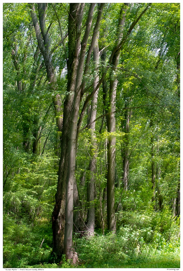 """Swamp Maples"" - Prince Edward County, Ontario"