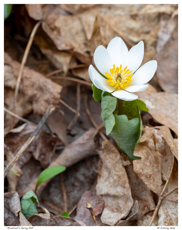 """Bloodroot's Spring Gift"""