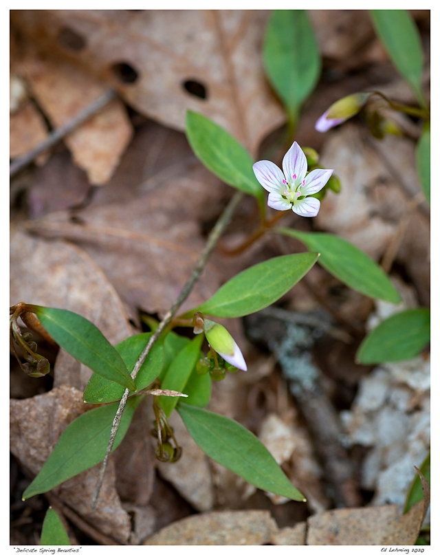 """Delicate Spring Beauties"""