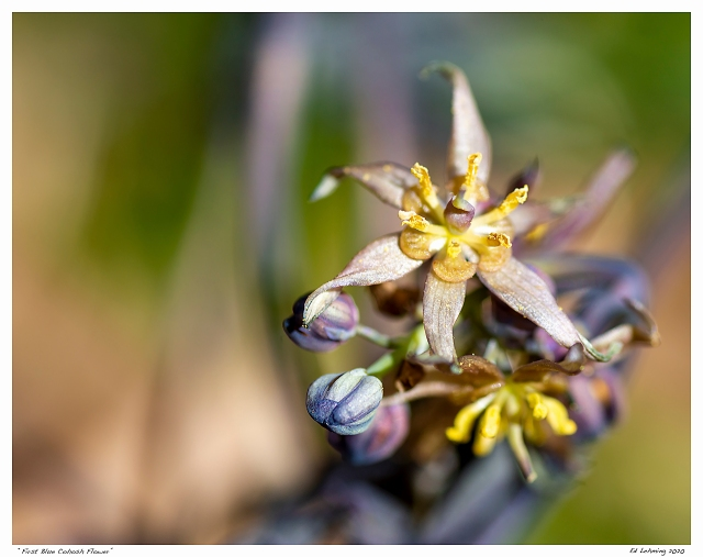 """First Blue Cohosh Flower"""