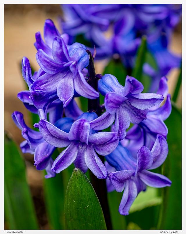 """""""May Hyacinths"""""""