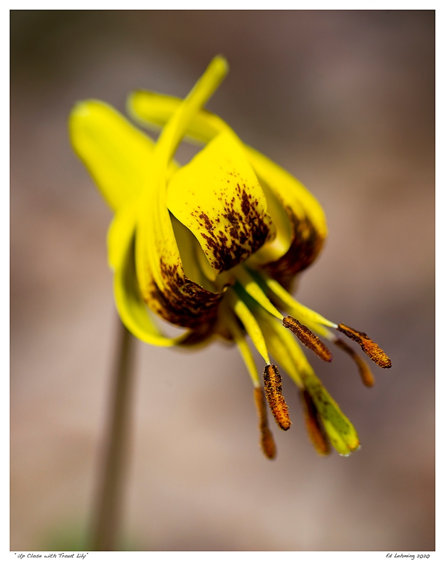 """Up Close with Trout Lily"""