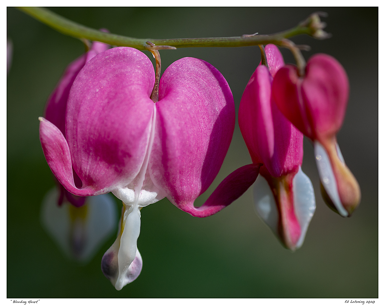 """Bleeding Heart"""