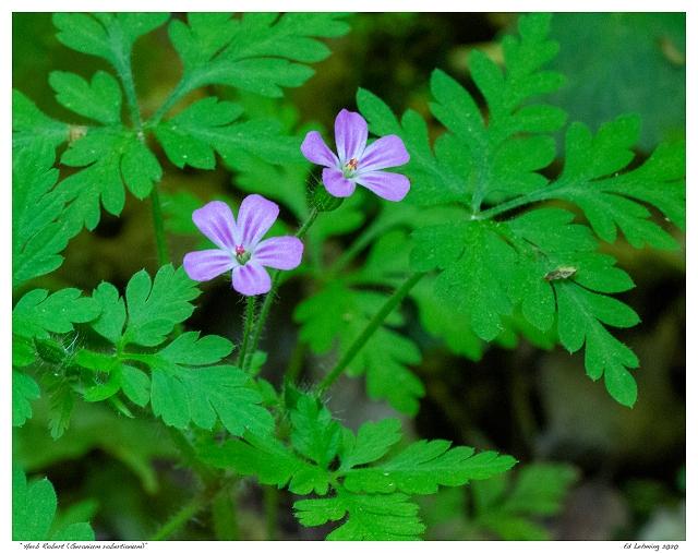 """Herb Robert (Geranium robertianum)"""
